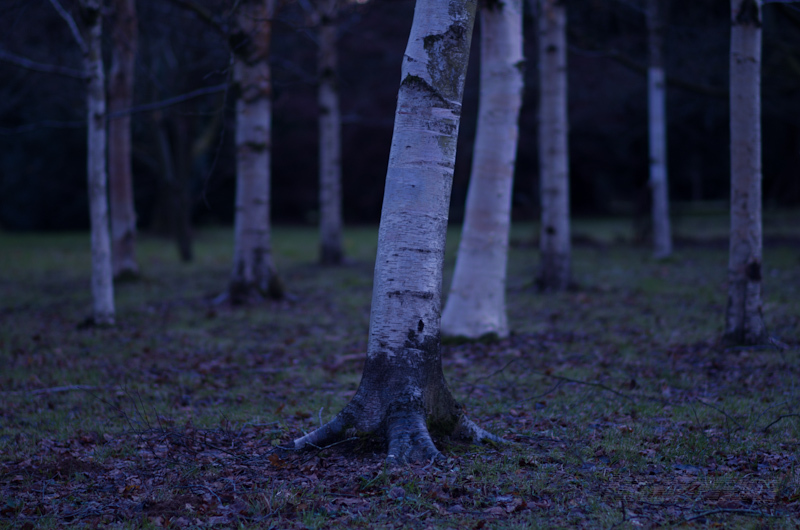 A group of moonlit birch trees
