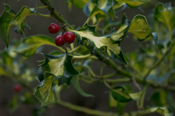 Variegated holly and berries