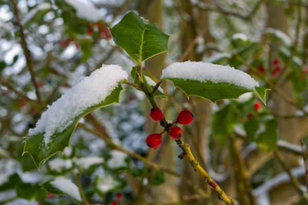 Holly under snow