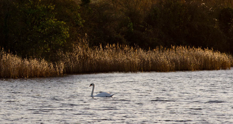 A swan heads home after a busy day dabbling