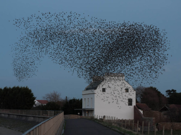 A flock of starlings swirls over the sea wall
