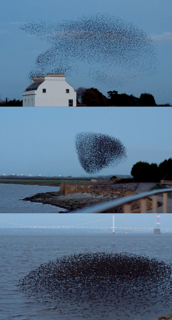 Three frames of a starling flock in motion