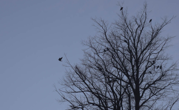 A jackdaw leaves a group