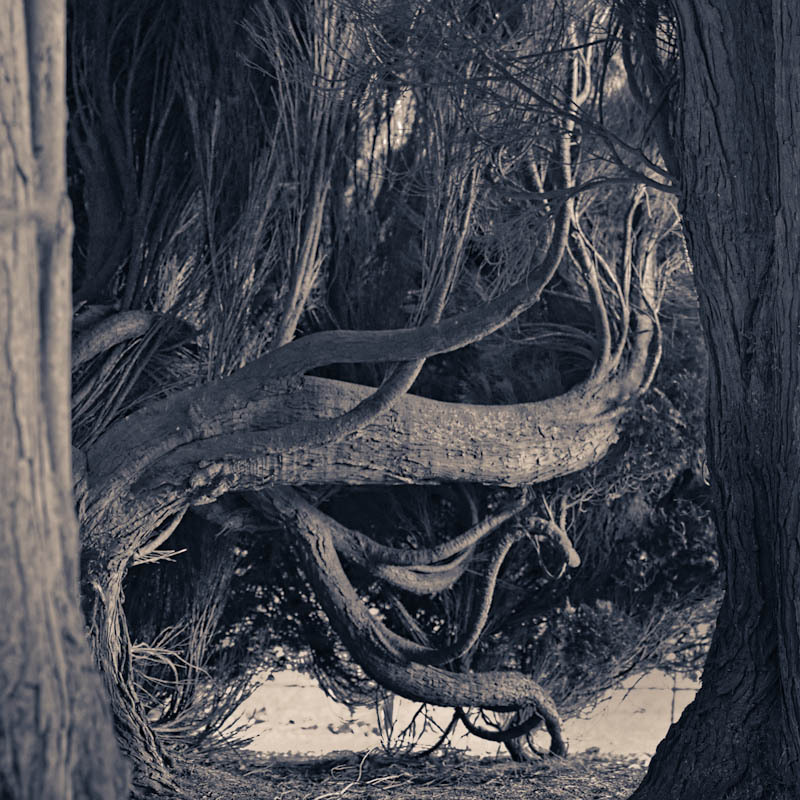 Twisted cedar trunks get a rare glimpse of light