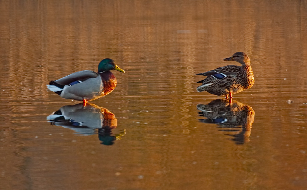 A pair of mallards preening at sunset
