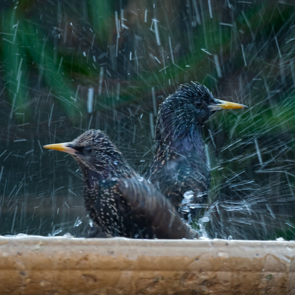 A pair of starlings take an icy bath together