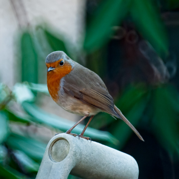 A robin poses on a shovel handle