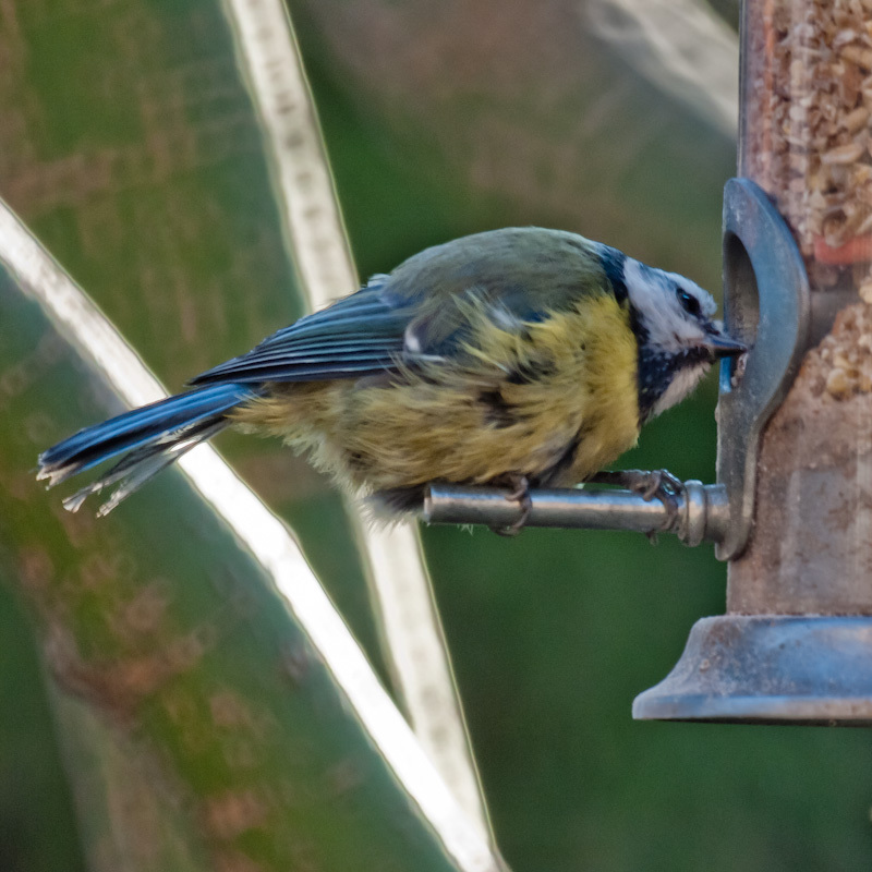 Scruffy blue tit looks over the food on offer