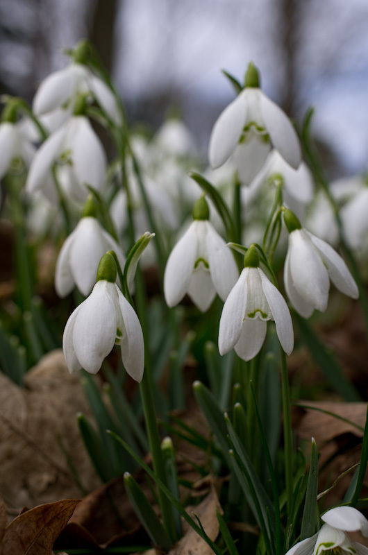 Closeup of a group of snowdrops
