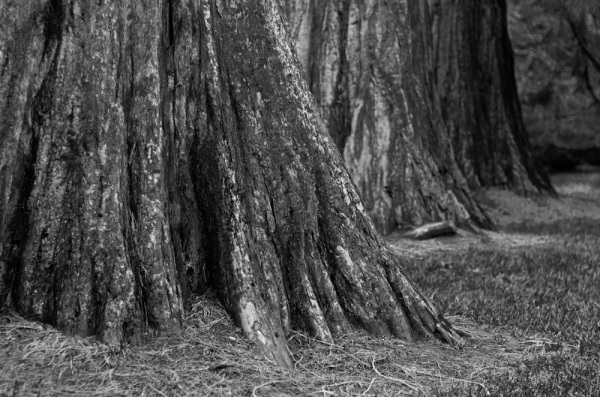 Sequoia trunks in a line