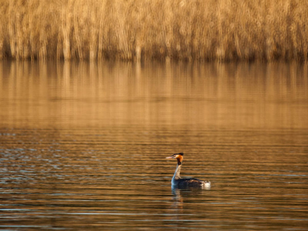 A great crested grebe waiting for a mate