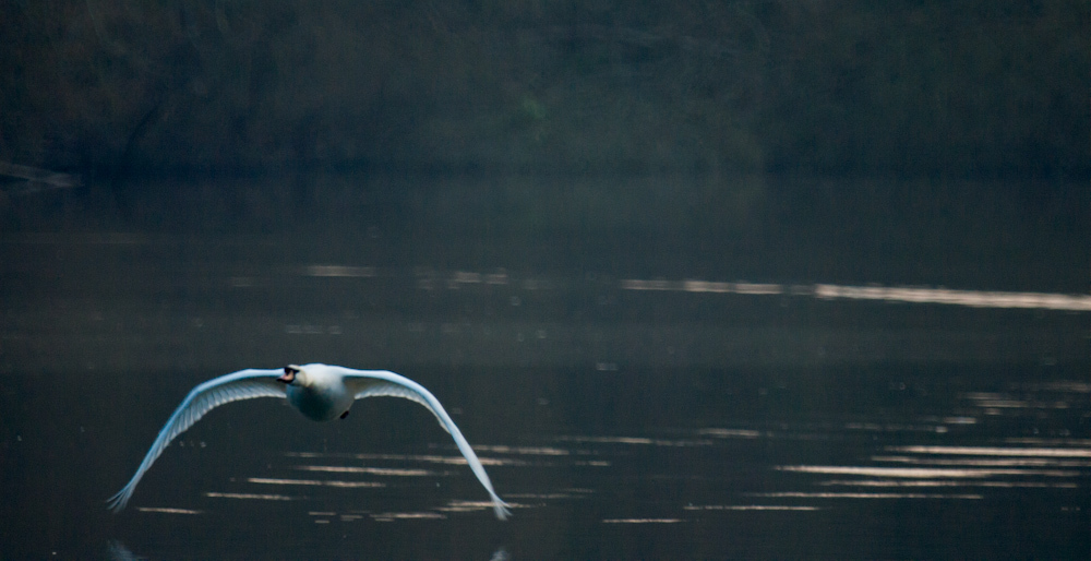 A mute swan flies just above the canal