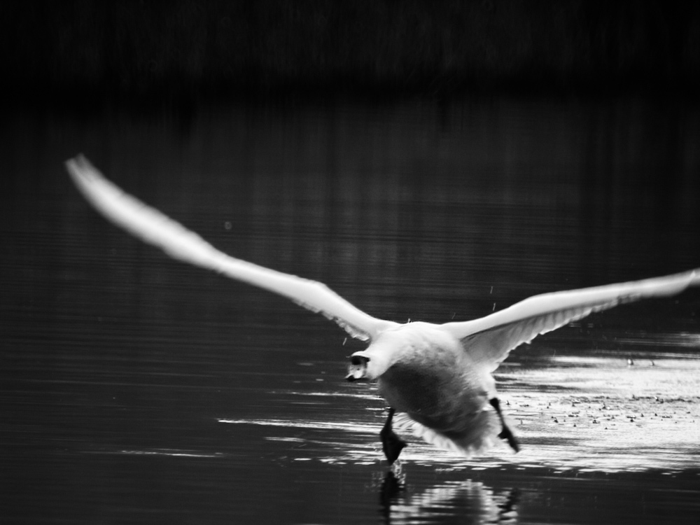 A swan flaps along the canal at speed