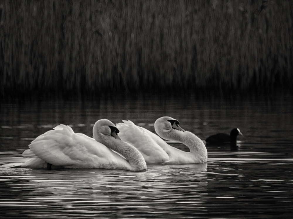 Two swans in formation with a curious coot