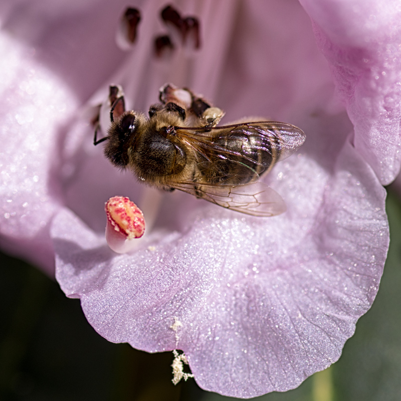 Bee in a rhododendron flower