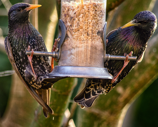 Mr and Mrs Starling at the bird feeder