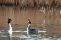 Two great crested grebes rehearsing their steps
