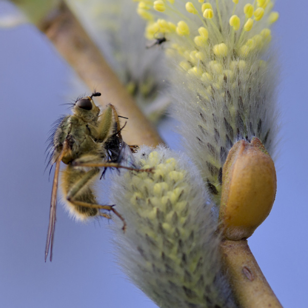 Robber fly with meal on basket willow flower
