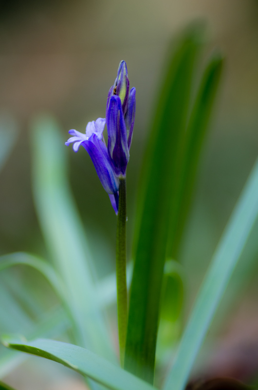 One of the first bluebells of spring