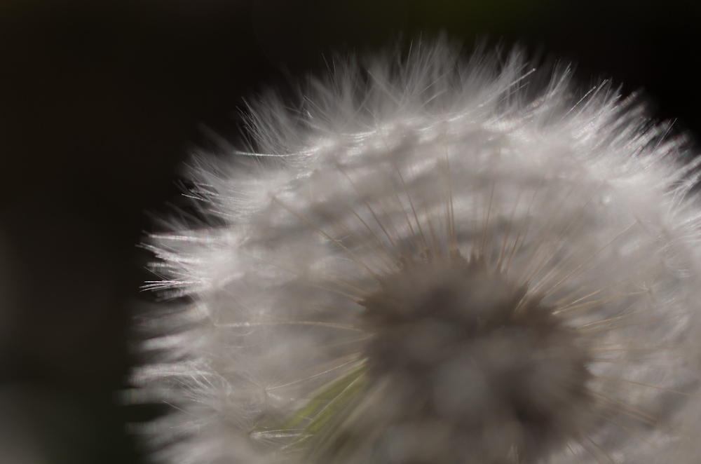 Close view of a dandelion seed head