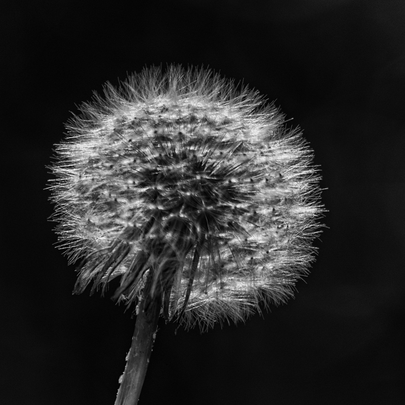 B&W study of a dandelion seed head