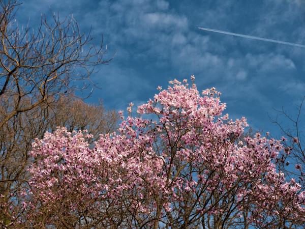 Flight over the magnolia blossoms