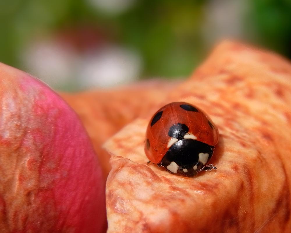 Ladybug on a gently rotting flower