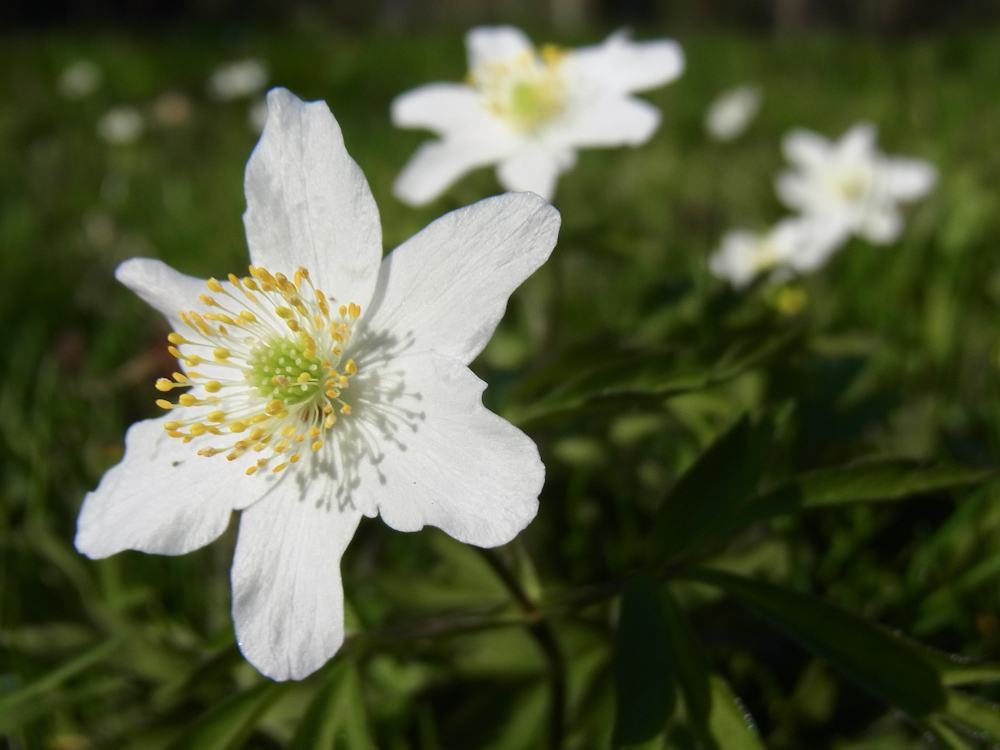A curious wood anemone approaches the camera