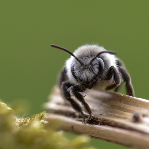 White and black bee, possibly a cuckoo bee