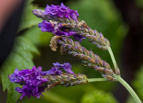 Windblown lavender