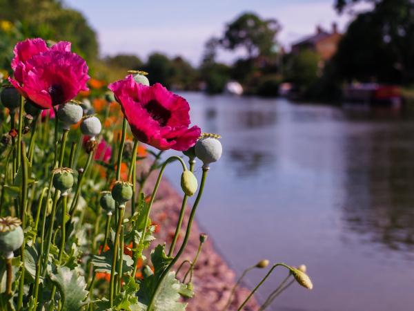 Purton poppies