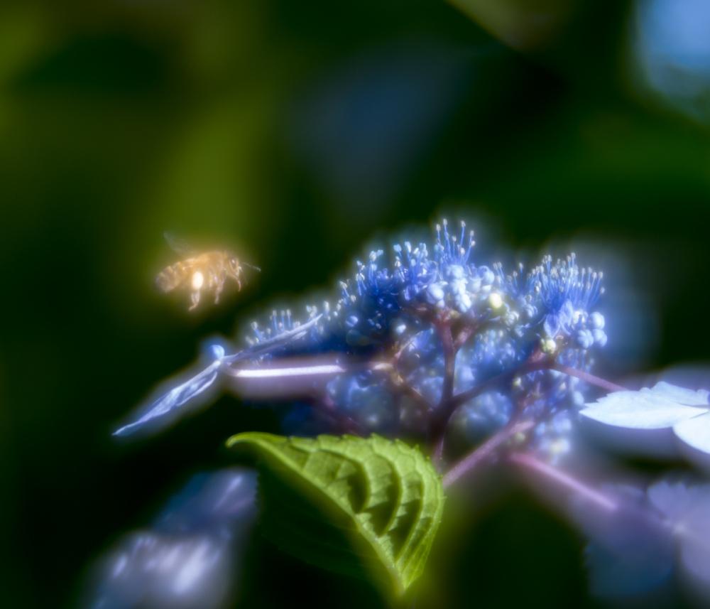 Hydrangea dream