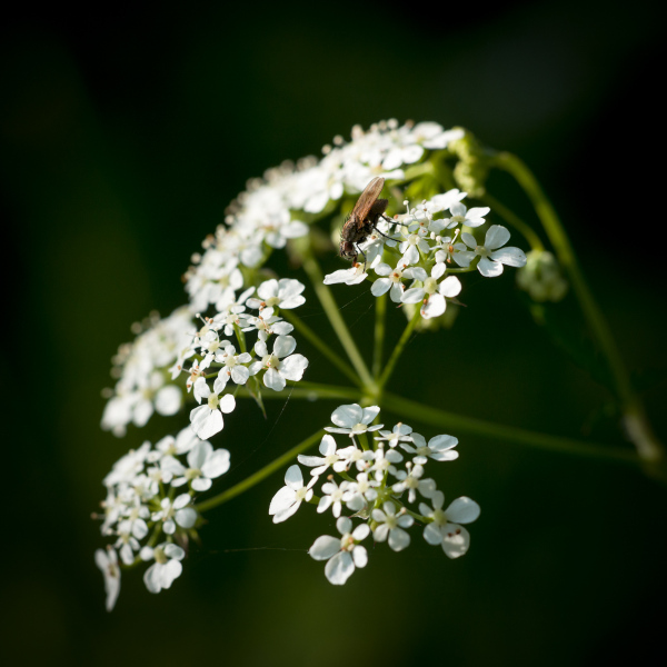 Fly Parsley
