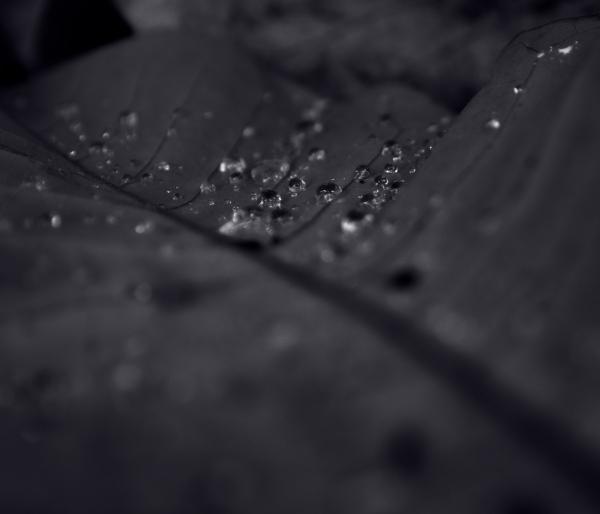 Raindrops and Magnolia Leaf