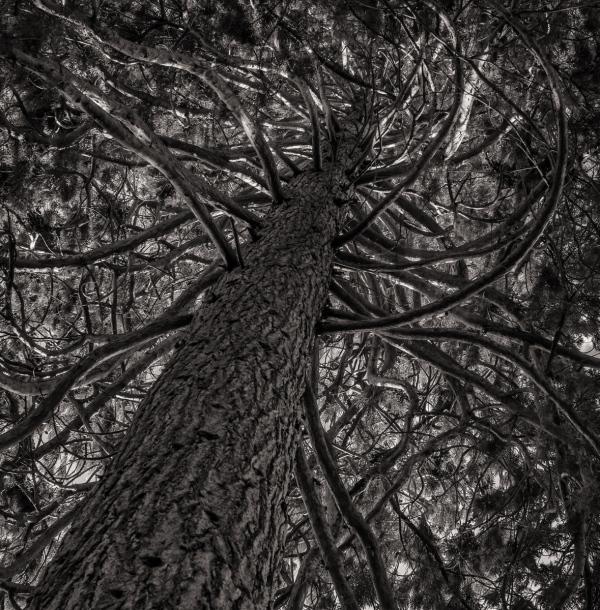 The Medusa Tree