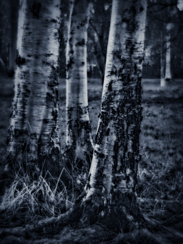 Birches at Dusk