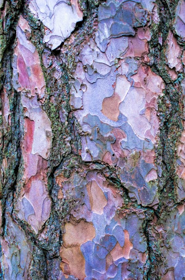 Scots Pine detail