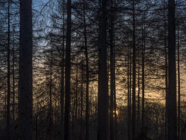 Larch grove sundown