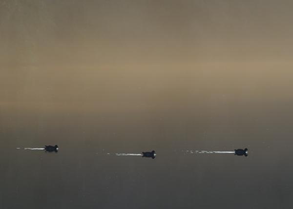 Shuttle Ducks
