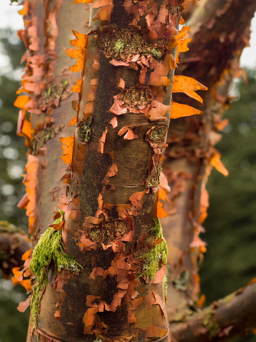 Paper-bark maple
