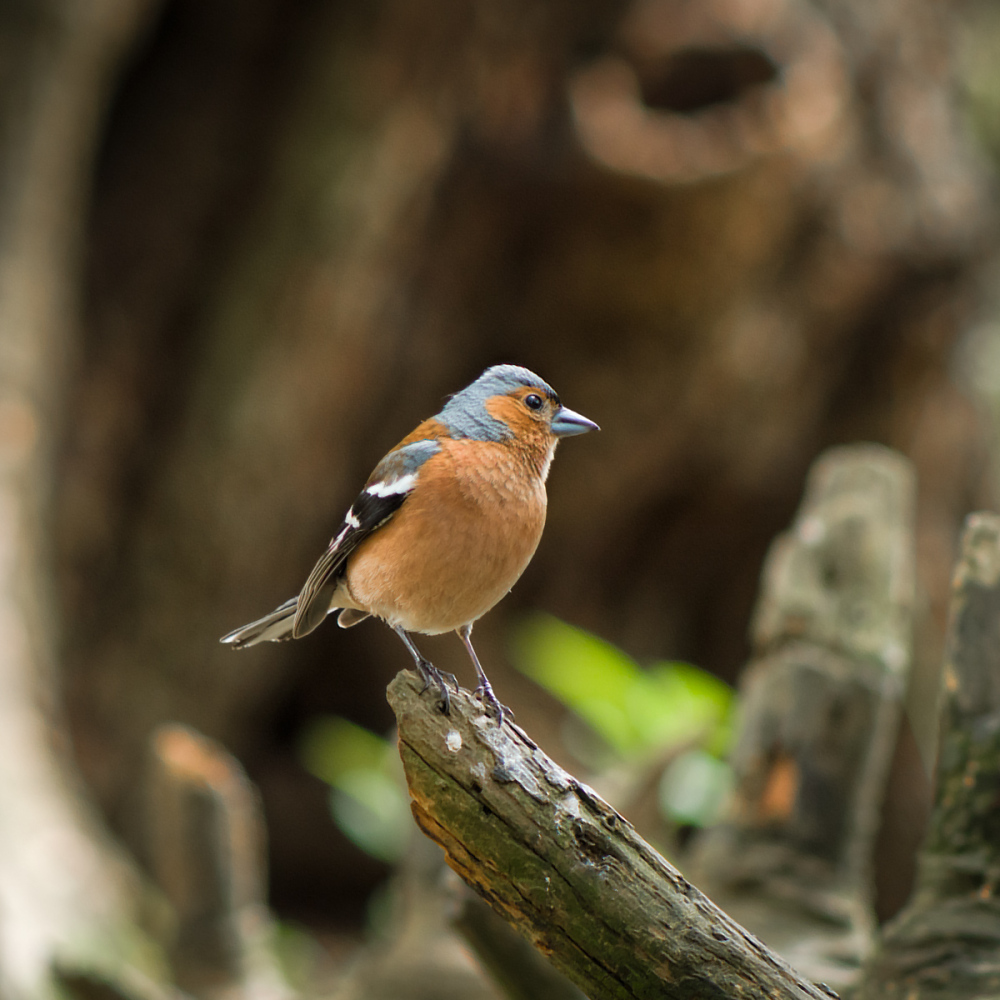 And Mr Chaffinch Poses