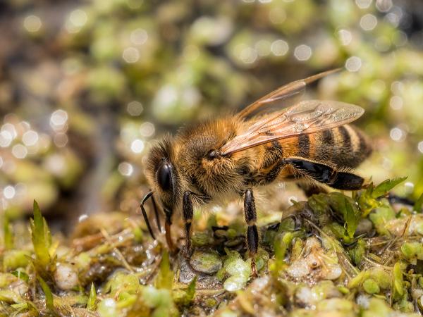 Honeybee Drinking 2