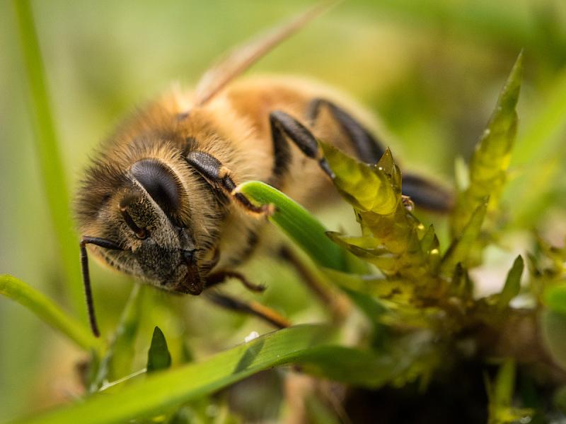 Honeybee Drinking 3