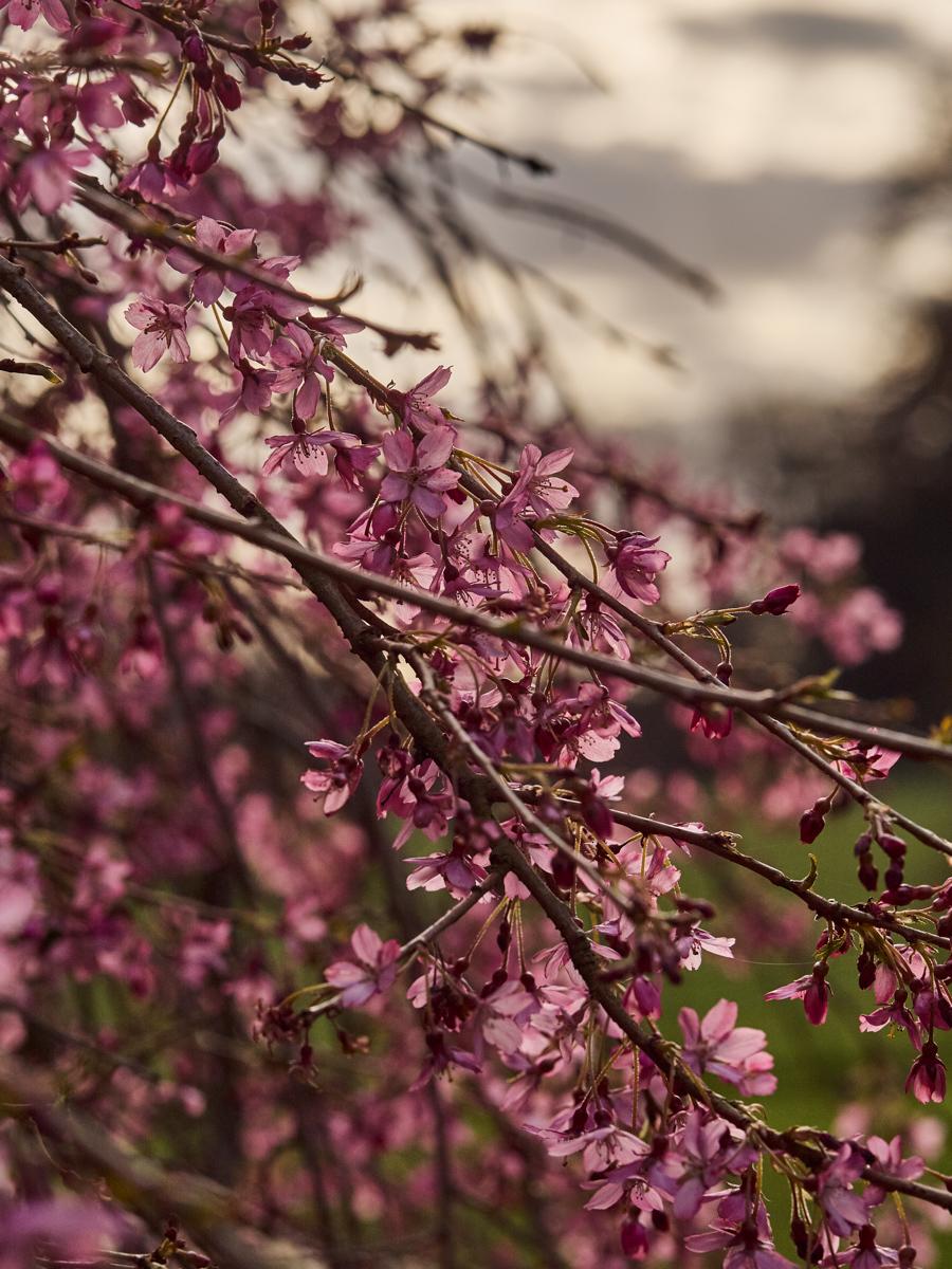Cherry Cascade