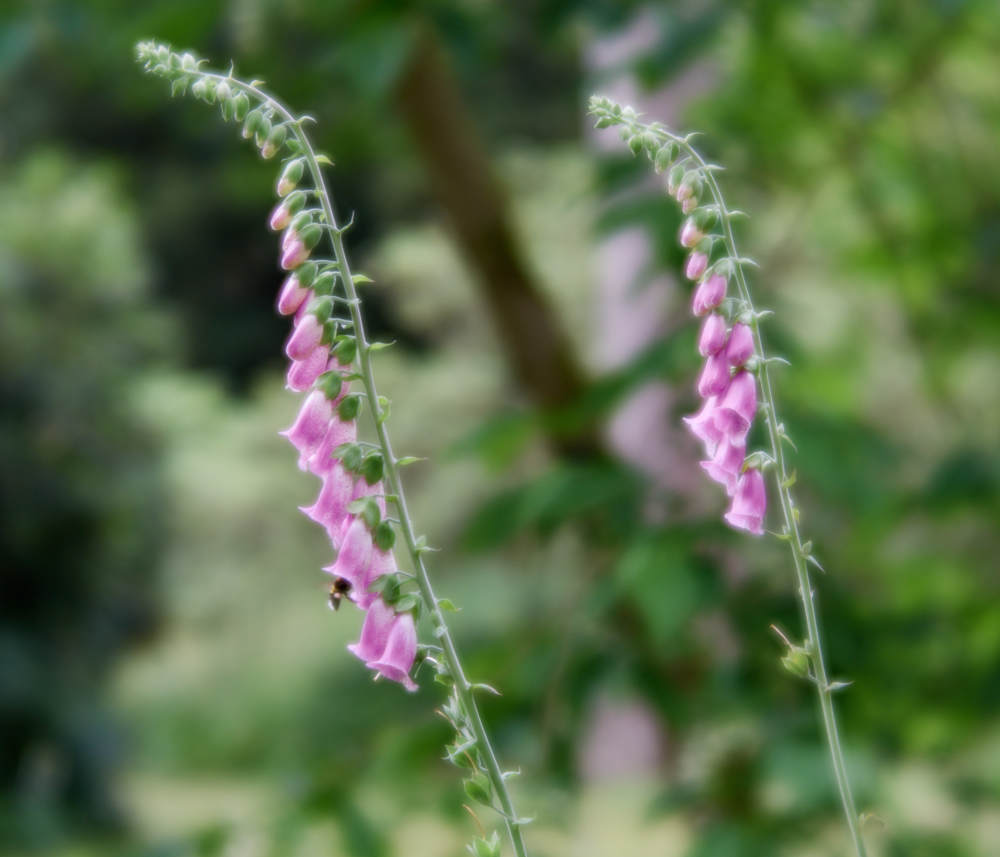 Soft Foxgloves