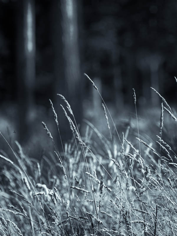 Grass and Pines