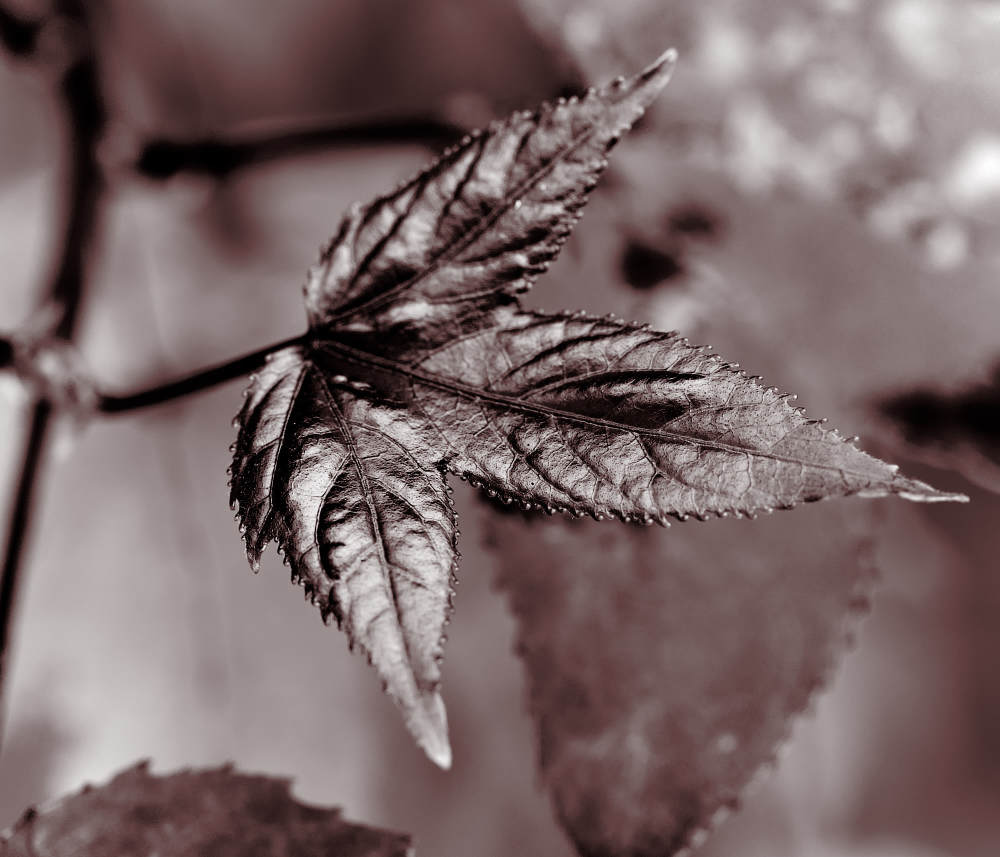 New Sweetgum Leaf