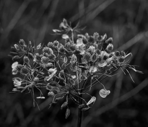 Hogweed Seeds
