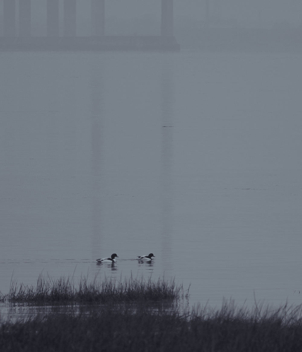 Shelducks in the Mist