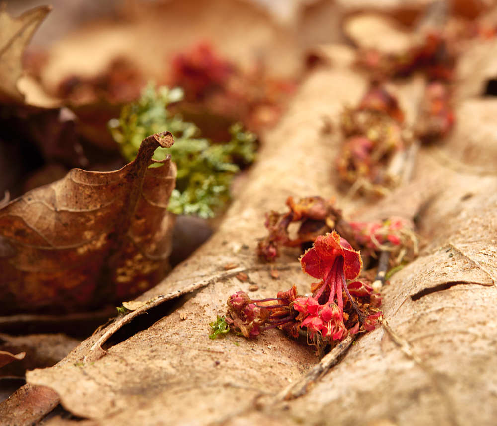 Beneath the Red Maple